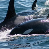 "BLOG: FROM ""FREE WILLY"" TO ""BLACKFISH"": RECOGNIZING THE ORCA"