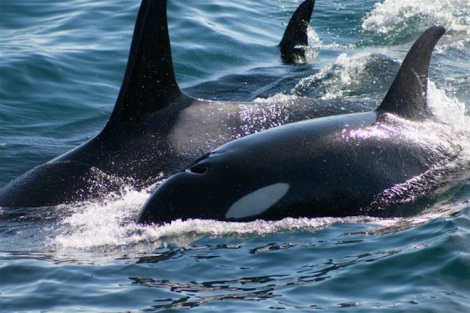 "From ""Free Willy to Blackfish"": Recognizing the Orca"